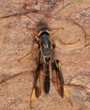 Ibaliid Wasps - Ibaliidae
