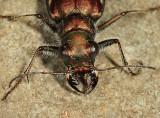 Festive Tiger Beetle - Cicindela scutellaris lecontei