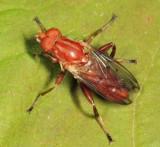 Hammerschmidtia ferruginea