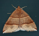 8727 - maple looper moth - Parallelia bistriaris