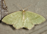7084 - Pistachio Emerald - Hethemia pistasciaria
