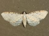 7533 - Eupithecia cretaceata