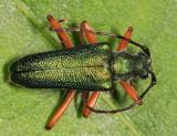 Anthophylax cyaneus