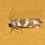 3009 - Eucosma robinsonana
