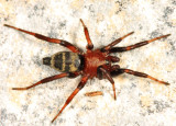 Callilepis pluto