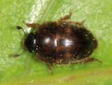 Amphicrossus ciliatus