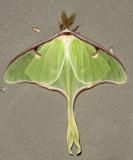 7758 - Luna Moth - Actias luna