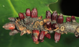 Callirhytis quercusgemmaria