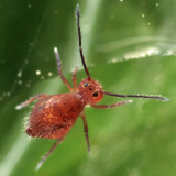 Ptenothrix atra