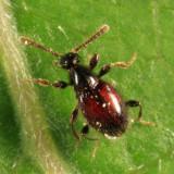 Euconnus (Napochus) flavitarsis