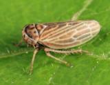 Leafhoppers genus Agallia