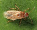 Cymus sp.