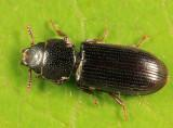 Tenebroides corticalis