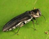 Agrilus olivaceoniger