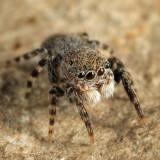 Jumping Spiders - Genus Talavera