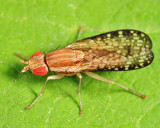 Trypetoptera canadensis
