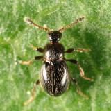 Euconnus (Psomophus) sp.
