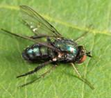 Dolichopus gratus