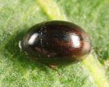Anacaena sp.