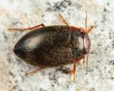 Hydroporus niger