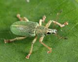 Green Immigrant Leaf Weevil - Polydrusus sericeus