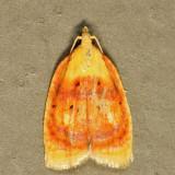 3504 - Blueberry Leaftier Moth - Acleris curvalana