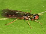 Sargus fasciatus