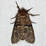 9182 - melanistic Eastern Panthea - Panthea furcilla