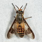 Chrysops montanus