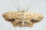 7157 - Frosted Tan Wave Moth - Scopula cacuminaria