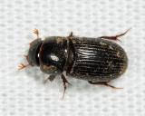 Black Turfgrass Ataenius - Ataenius spretulus