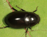 Hydrochara obtusata