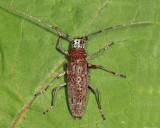 Northeastern Pine Sawyer - Monochamus notatus