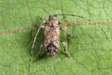 Sternidius sp.