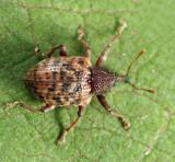 Conotrachelus geminatus