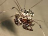 Leiobunum vittatum (feeding on a dead spider)