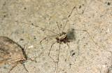Leiobunum vittatum (feeding on a dead spider)