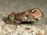 8007 - Unicorn Caterpillar Moth - Schizura unicornis