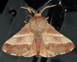 7701 - Eastern Tent Caterpillar Moth - Malacosoma americanum