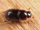 Aphodius rusicola