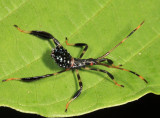 Acanthocephala terminalis (nymph)