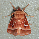 9629 - Marsh Fern Moth - Fagitana littera