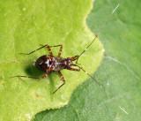 Fulvius sp. (nymph)