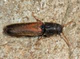 False Click Beetles - Eucnemidae
