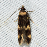 1134 - Four-spotted Yellowneck - Oegoconia quadripuncta