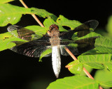 Common Whitetail - Plathemis lydia