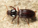 Clivina acuducta