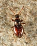 Euconnus (Psomophus) fatuus