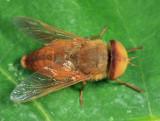 Atylotus bicolor