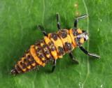 Spotted Lady Beetle larva - Coleomegilla maculata lengi